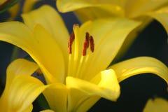 Ένα ανθίζοντας κίτρινο λουλούδι κρίνων στοκ εικόνες