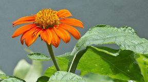 Ένα ανθίζοντας λουλούδι Στοκ Εικόνες