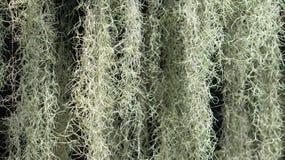 Ένα ανθίζοντας φυτό: Ισπανικό βρύο (Tillandsia usneoides) Στοκ Φωτογραφίες