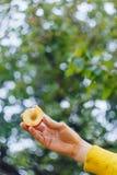 Ένα ανθρώπινο χέρι κρατά πρόσφατα επιλεγμένα ώριμα φρούτα ροδάκινων με ένα κόκκαλο που κόβεται σε δύο κομμάτια σε ένα κλίμα της χ στοκ εικόνες με δικαίωμα ελεύθερης χρήσης