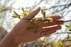 Ένα ανθρώπινο χέρι κρατά τα πρώτα φρέσκα φύλλα άνοιξη στοκ φωτογραφία με δικαίωμα ελεύθερης χρήσης
