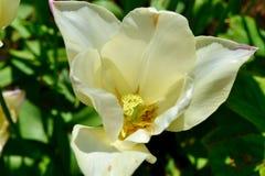 Ένα ανοικτό λουλούδι magnolia λεμονιών στοκ εικόνα με δικαίωμα ελεύθερης χρήσης