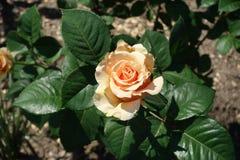 Ένα ανοικτό πορτοκαλί λουλούδι αυξήθηκε Στοκ εικόνα με δικαίωμα ελεύθερης χρήσης