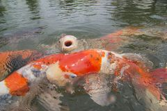 Ένα ανοικτό στόμα ψαριών koi κοιτάζει στο μέτωπο Στοκ Εικόνες