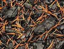 Ένα απανθρακωμένο ξύλο που ψεκάζεται με τις κομψές βελόνες πεύκων Στοκ Εικόνες