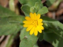 Ένα απομονωμένο κίτρινο λουλούδι την άνοιξη στοκ εικόνες με δικαίωμα ελεύθερης χρήσης