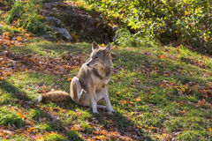 Ένα απομονωμένο κογιότ σε ένα δάσος στοκ εικόνες