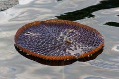 Ένα απομονωμένο μαξιλάρι κρίνων που επιπλέει στο νερό Στοκ φωτογραφία με δικαίωμα ελεύθερης χρήσης