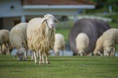 Ένα απομονωμένο πρόβατο στο τοπίο της Ταϊλάνδης Στοκ εικόνες με δικαίωμα ελεύθερης χρήσης
