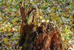 Ένα αποσυνθέτοντας παλαιό κολόβωμα με τα δονούμενα φύλλα φθινοπώρου στοκ φωτογραφίες με δικαίωμα ελεύθερης χρήσης