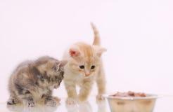 Ένα από το λατρευτό γούνινο γατάκι δύο που παρατηρεί τα τρόφιμα γατών από το τόξο Στοκ Φωτογραφίες