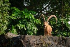 Ένα αρσενικό ζώο αιγών με τα μεγάλα κέρατα Στοκ εικόνες με δικαίωμα ελεύθερης χρήσης
