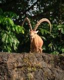 Ένα αρσενικό ζώο αιγών με τα μεγάλα κέρατα Στοκ φωτογραφίες με δικαίωμα ελεύθερης χρήσης