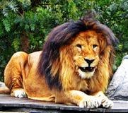 Ένα αρσενικό λιοντάρι που κοιτάζει επίμονα προς τα εμπρός Στοκ Εικόνες