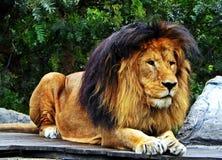 Ένα αρσενικό λιοντάρι που κοιτάζει επίμονα προς τα εμπρός Στοκ φωτογραφία με δικαίωμα ελεύθερης χρήσης