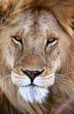 Ένα αρσενικό λιοντάρι στο εθνικό πάρκο της Τανζανίας στοκ εικόνα