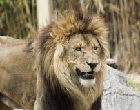 Ένα αρσενικό λιοντάρι χαμόγελου σε έναν ζωολογικό κήπο Στοκ Εικόνες