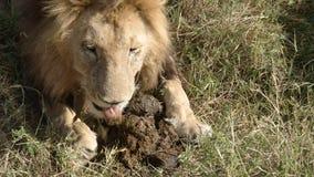 Ένα αρσενικό λιοντάρι εμφανίζεται να τρώει την κοπριά ελεφάντων mara masa στο εθνικό πάρκο, Κένυα απόθεμα βίντεο