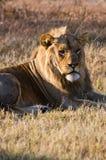 Ένα αρσενικό λιοντάρι χαλαρώνει στη Μποτσουάνα Στοκ Φωτογραφίες