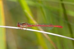 Ένα αρσενικό μικρό κόκκινο damselfly σε έναν μίσχο καλάμων Στοκ Εικόνες