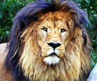 Ένα αρσενικό πορτρέτο λιονταριών Στοκ φωτογραφία με δικαίωμα ελεύθερης χρήσης