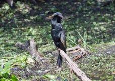 Ένα αρσενικό Anhinga στοκ εικόνα