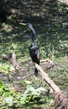 Ένα αρσενικό Anhinga στοκ εικόνα με δικαίωμα ελεύθερης χρήσης