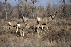Ένα αρσενικό Buck ελαφιών μουλαριών του Ουαϊόμινγκ κρατά ένα μάτι έξω για τον κίνδυνο στοκ εικόνες