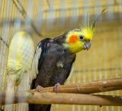 Ένα αρσενικό budgerigar σε ένα κλουβί Στοκ Φωτογραφίες