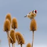 Ένα αρσενικό Goldfinch σκαρφαλώνει σε ένα Teasel κεφάλι Στοκ Εικόνα