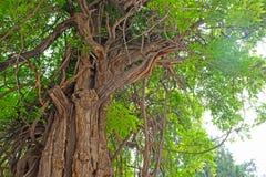 Ένα αρχαίο δέντρο άνω των 300 χρονών στο ναό του Πεκίνου ` s Κομφουκίου στοκ εικόνα