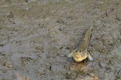 Ένα αστείο, καλό, ταϊλανδικό ψάρι περπατήματος, με το ανθρώπινος-όπως πρόσωπο, βρήκε να κοιτάξει επίμονα προς τα εμπρός, σε ένα τ Στοκ Εικόνες
