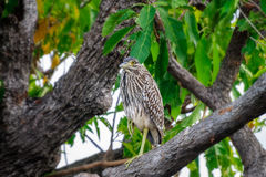 Ένα αστείο πουλί σε Corroboree Billabong, Αυστραλία Στοκ Εικόνες