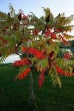 Ένα ασυνήθιστο δέντρο με τα φύλλα κόκκινος-πρασίνου Στοκ Εικόνα