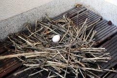 Ένα αυγό στη φωλιά - περιστέρι - παχουλό - πουλιά Στοκ Φωτογραφίες