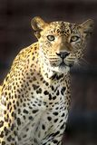 Ένα αυστηρό βλέμμα σε μια λεοπάρδαλη Στοκ φωτογραφία με δικαίωμα ελεύθερης χρήσης