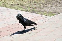 Ένα αυστραλιανό κοράκι Στοκ φωτογραφία με δικαίωμα ελεύθερης χρήσης
