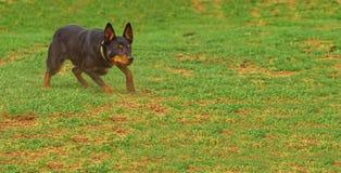 Ένα αυστραλιανό Kelpie που λειτουργεί με την εστίαση. Στοκ Φωτογραφίες