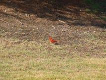 Ένα βασικό ` s κόκκινο Fethers παρουσιάζει κάποιο πορτοκάλι Στοκ Εικόνες