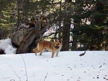 Ένα βελγικό σκυλί στην κορυφή των υψηλών λιβανέζικων βουνών στοκ φωτογραφία