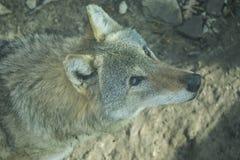 Ένα βλέμμα κατ' ευθείαν στην ψυχή σας ενός αυστηρού θηλυκού λύκων Εξαιρετικά επικίνδυνο κτήνος Στοκ εικόνες με δικαίωμα ελεύθερης χρήσης
