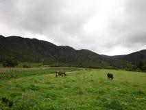 Ένα βουνό φύσης με αγελάδες Στοκ εικόνες με δικαίωμα ελεύθερης χρήσης