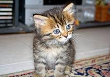 Ένα γατάκι με τα μεγάλα όμορφα μάτια στοκ εικόνες