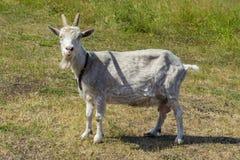 Ένα γεωργικό γαλακτοκομικό ζώο μια άσπρη αίγα με τα κέρατα αφθονεί στην επαρχία Μια αίγα με ένα περιλαίμιο που βόσκει σε ένα λιβά στοκ φωτογραφία με δικαίωμα ελεύθερης χρήσης