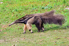 Ένα γιγαντιαίο Anteater σε κίνηση Στοκ Εικόνα