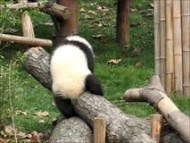 Ένα γιγαντιαίο panda litte απόθεμα βίντεο