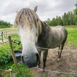 Ένα γκρίζο άλογο που εξετάζει στενό τη κάμερα πέρα από ένα ηλεκτρικό fenc Στοκ εικόνα με δικαίωμα ελεύθερης χρήσης
