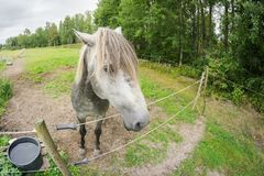 Ένα γκρίζο άλογο που εξετάζει στενό τη κάμερα πέρα από ένα ηλεκτρικό fenc Στοκ Εικόνα