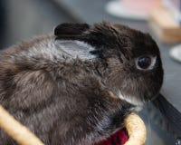 Ένα γκρίζο νάνο κουνέλι λαγουδάκι κρυφοκοιτάζει από ένα χειροποίητο αφρικανικό καλάθι αγοράς Στοκ φωτογραφίες με δικαίωμα ελεύθερης χρήσης