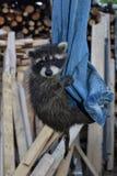Ένα γλυκό racoon - το μωρό κρεμά στα τζιν Στοκ φωτογραφία με δικαίωμα ελεύθερης χρήσης